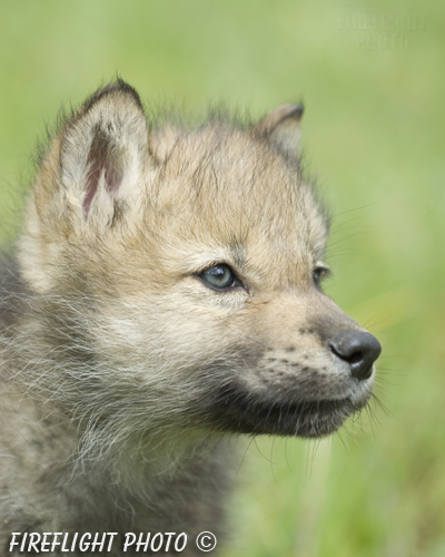 wildlife;Wolf;Wolves;Canis lupus;Gray Wolf;Timber Wolf;Pup;Head Shot;AOM