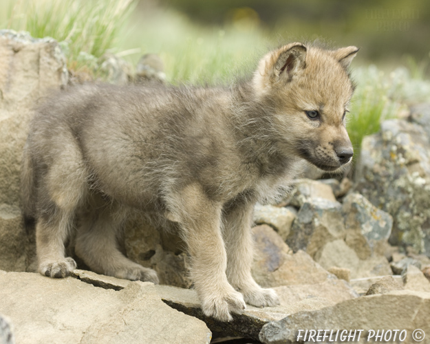 wildlife;Wolf;Wolves;Canis lupus;Gray Wolf;Timber Wolf;Pup;Montana;AOM;Rocks