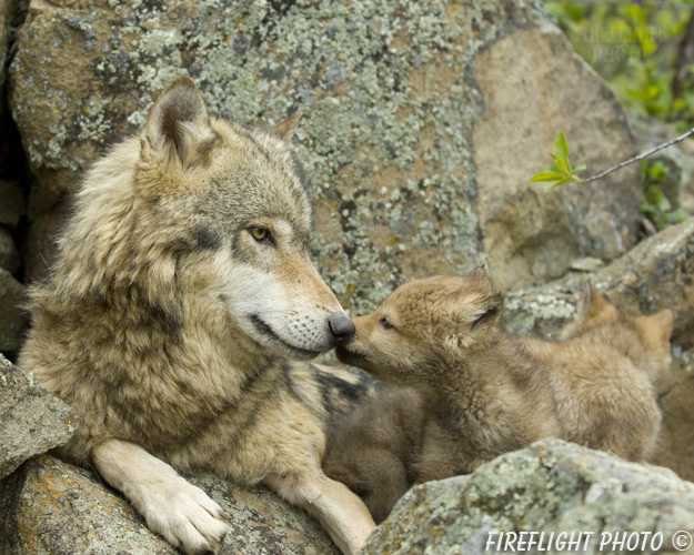 wildlife;Wolf;Wolves;Canis lupus;Gray Wolf;Timber Wolf;Pup;Interaction;Montana;AOM;Interaction