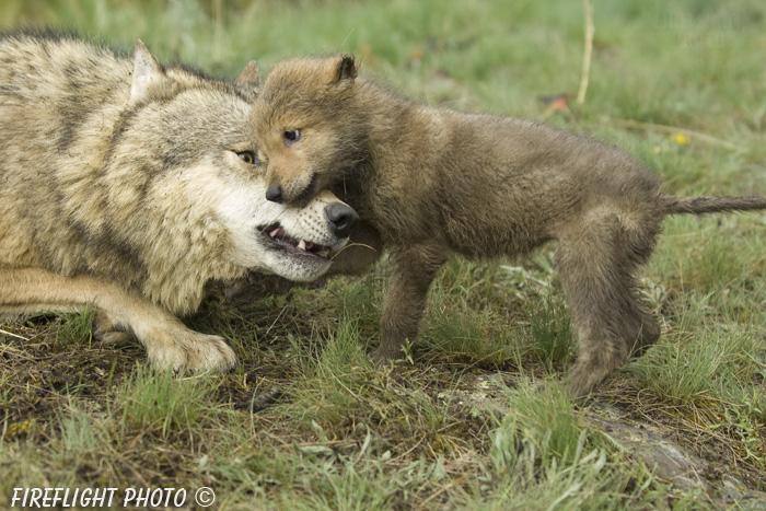 wildlife;Wolf;Wolves;Canis lupus;Gray Wolf;Timber Wolf;Pup;Interaction;Montana;AOM;Growling