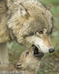 wildlife;Wolf;Wolves;Canis-lupus;Gray-Wolf;Timber-Wolf;Pup;Interaction;Montana;AOM;Interaction