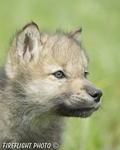 wildlife;Wolf;Wolves;Canis-lupus;Gray-Wolf;Timber-Wolf;Pup;Head-Shot;AOM