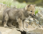 wildlife;Wolf;Wolves;Canis-lupus;Gray-Wolf;Timber-Wolf;Pup;Montana;AOM;Rocks