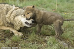 wildlife;Wolf;Wolves;Canis-lupus;Gray-Wolf;Timber-Wolf;Pup;Interaction;Montana;AOM;Growling