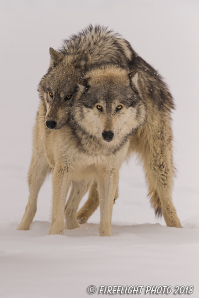 wildlife;Wolf;Wolves;Canis Lupus;snow;dominance;Montana;MT;D850;2018