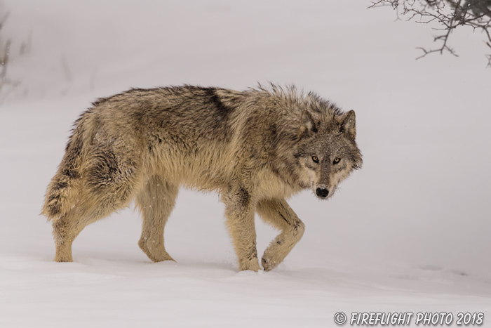wildlife;Wolf;Wolves;Canis Lupus;snow;walking;Montana;MT;D5;2018