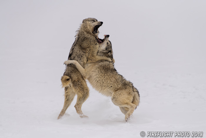 wildlife;Wolf;Wolves;Canis Lupus;snow;fight;action;Montana;MT;D850;2018