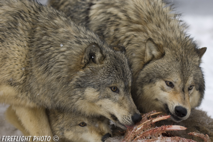 wildlife;Wolf;Wolves;Canis lupus;Gray Wolf;Timber Wolf;Montana;AOM;Snarling;Growling;Carcass