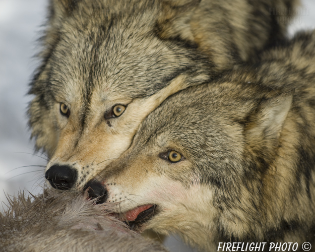 wildlife;Wolf;Wolves;Canis lupus;Gray Wolf;Timber Wolf;Montana;AOM;Head Shot;Carcass