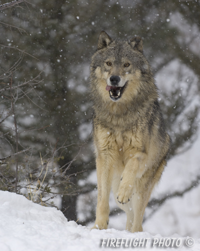 wildlife;Wolf;Wolves;Canis lupus;Gray Wolf;Timber Wolf;Montana;AOM;Snow;Running