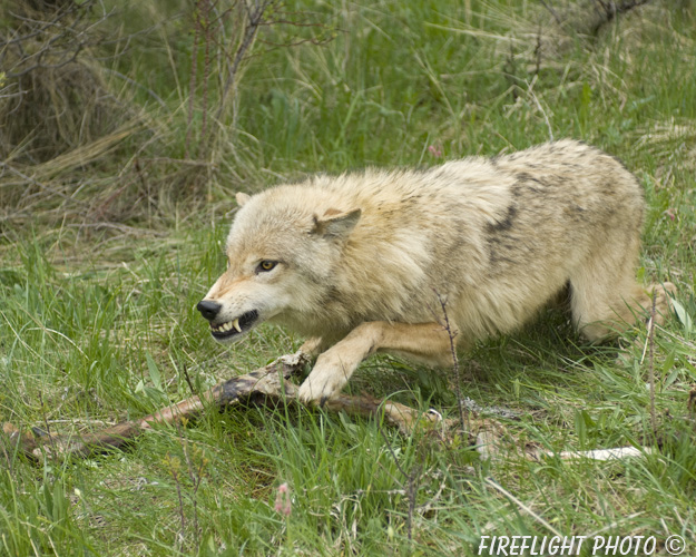 wildlife;Wolf;Wolves;Canis lupus;Gray Wolf;Timber Wolf;Montana;AOM;Snarling;Growling