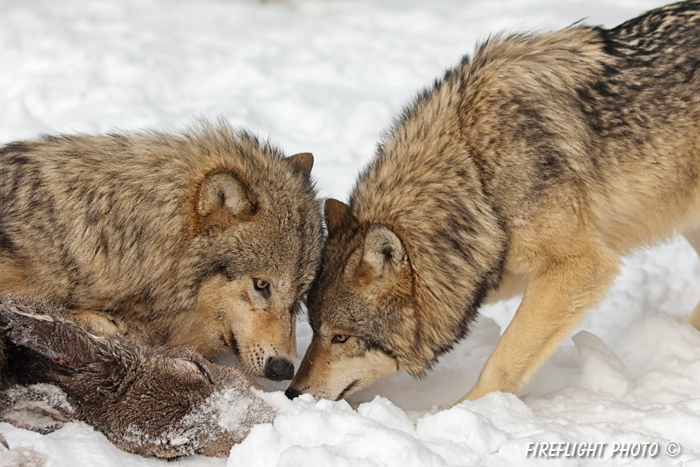 wildlife;Wolf;Wolves;Canis lupus;Gray Wolf;Timber Wolf;Montana;AOM;Carcass