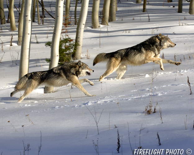 wildlife;Wolf;Wolves;Canis lupus;Gray Wolf;Timber Wolf;Montana;AOM;Aspen;Running;Snow