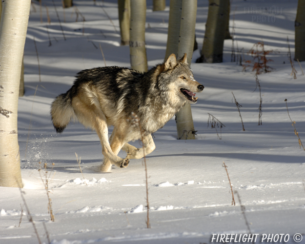wildlife;Wolf;Wolves;Canis lupus;Gray Wolf;Timber Wolf;Montana;AOM;Snow;Aspen;Running