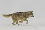 wildlife;Wolf;Wolves;Canis-Lupus;snow;running;action;Montana;MT;D5;2018