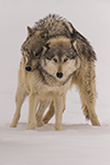 wildlife;Wolf;Wolves;Canis-Lupus;snow;dominance;Montana;MT;D850;2018
