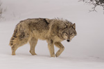 wildlife;Wolf;Wolves;Canis-Lupus;snow;walking;Montana;MT;D5;2018