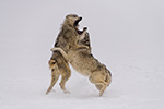 wildlife;Wolf;Wolves;Canis-Lupus;snow;fight;action;Montana;MT;D850;2018