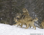 wildlife;Wolf;Wolves;Canis-lupus;Gray-Wolf;Timber-Wolf;Montana;AOM;Snarling;Growling