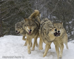 wildlife;Wolf;Wolves;Canis-lupus;Gray-Wolf;Timber-Wolf;Montana;AOM;Interaction