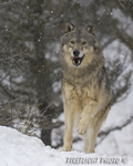 wildlife;Wolf;Wolves;Canis-lupus;Gray-Wolf;Timber-Wolf;Montana;AOM;Snow;Running