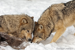 wildlife;Wolf;Wolves;Canis-lupus;Gray-Wolf;Timber-Wolf;Montana;AOM;Carcass