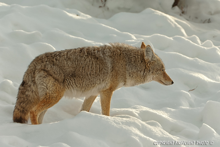 Wildlife;coyote;prairie wolf;Canis latrans;snow;yellowstone np;wyoming