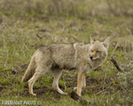 Wildlife;coyote;prairie-wolf;Canis-latrans;grass;yellowstone-np;wyoming