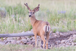 Wildlife;Deer;Mule-Deer;Buck;Odocoileus-hemionus;Grass;Yellowstone-NP;Wyoming;D4