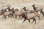 Wildlife;Elk;Bull-Elk;Cervus-elaphus;stampede;herd;Grand-Teton;Wyoming;D4