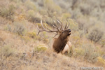 Wildlife;Elk;Bull-Elk;Cervus-elaphus;field;grass;bugling;Yellowstone;Mammoth;Wyoming