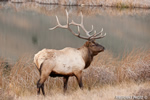 Wildlife;Elk;Bull-Elk;Cervus-elaphus;field;grass;water;Yellowstone;Mammoth;Wyoming