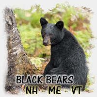 BLACK BEAR NH