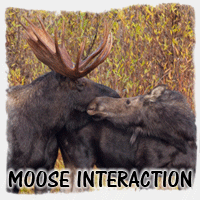 MOOSE INTERACTION