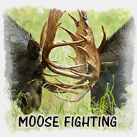 MOOSE FIGHTING