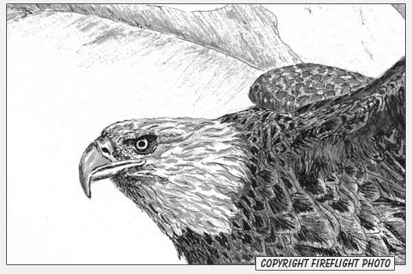 fireflight photo bald eagle pen and ink drawing