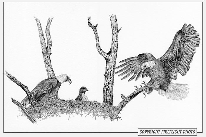 Line Drawing Nest : Fireflight photo bald eagle nest pen and ink drawing