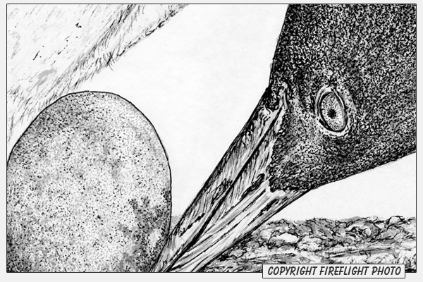Loon with Egg Pen and Ink Drawing Detail