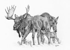 Bull Moose and Cow Pen and Ink Drawing