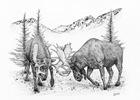 Bull Moose Sparring Pen and Ink Drawing