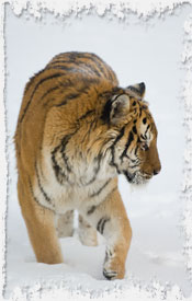 Photo Siberian Tiger in Snow