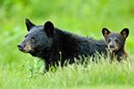 Black Bear and Cub in Grass Photo
