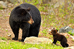 Tiny Black Bear Cub and Female Photo