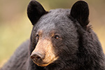 Portrait Photo Black Bear