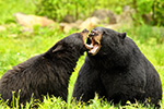 Black Bear Mating Behavior Photo