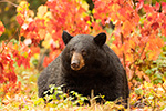 Black Bear in Foliage Photo