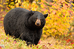 Female Black Bear in Foliage Photo