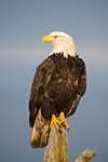 Bald Eagles Sitting On Driftwood Photo
