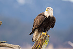 Bald Eagle On Driftwood Photo