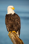 Bald Eagle Sitting On Driftwood Photo